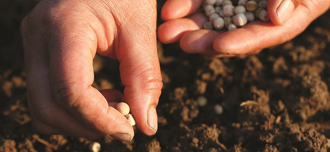 Planting seeds in field