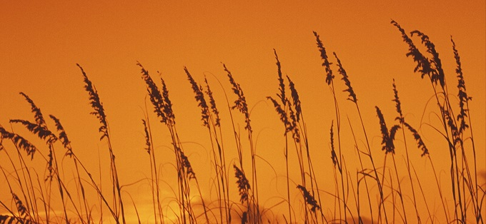 Grass stalks at sunset